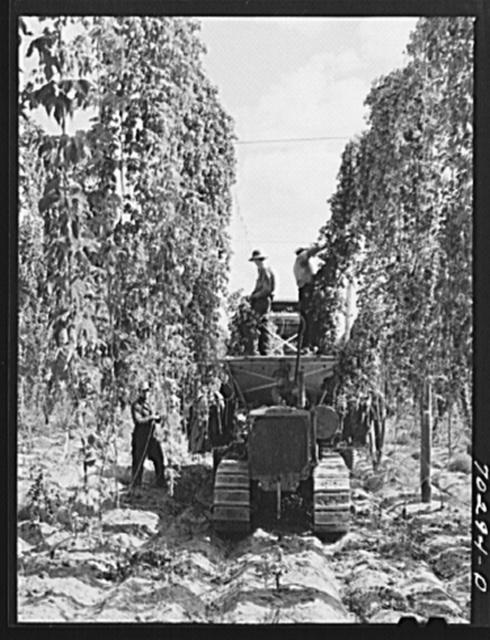 Portable-type mechanical hop picker in the field. Yakima County, Washington