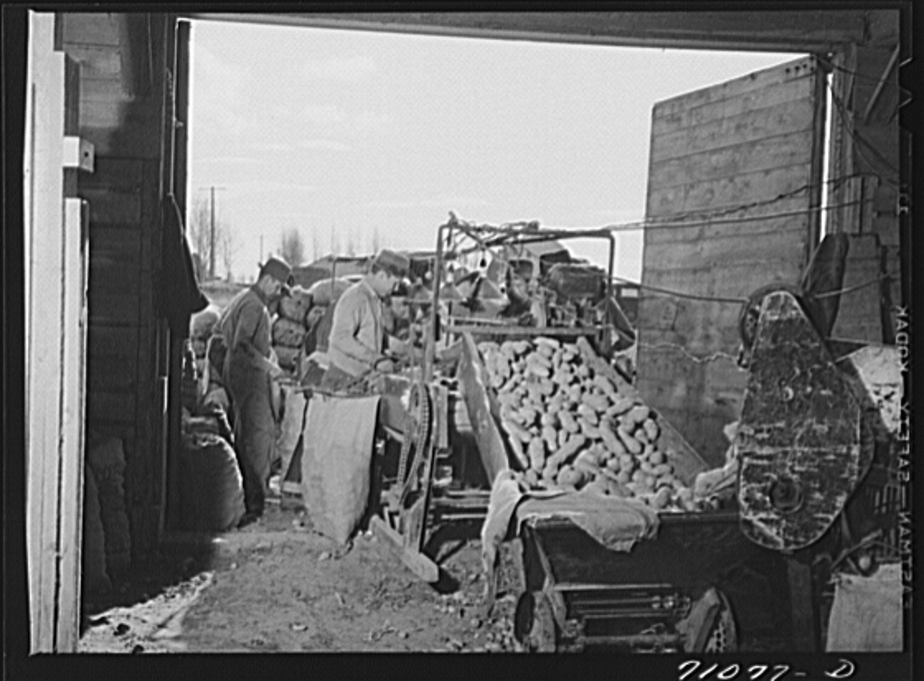Potatoes coming through cleaning apparatus at the cellar where they are being sacked. Klamath County, Oregon