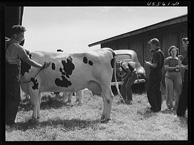 Preparing a cow for the cattle judging at the Rutland Fair. Vermont