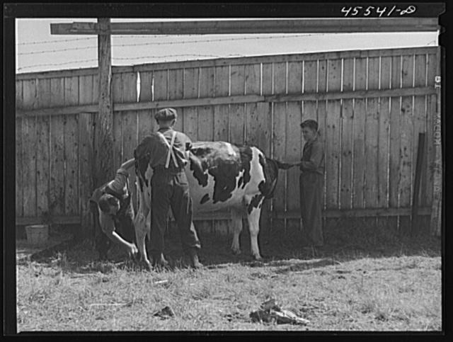 Preparing a Holstein cow for the cattle judging at the Rutland Fair, Vermont