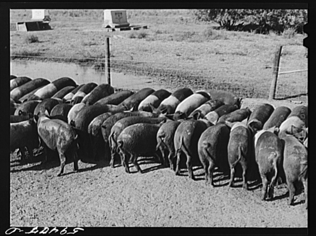 Purebred Hampshires feeding at the Two River Non-Stock Cooperative, a FSA (Farm Security Administration) co-op at Waterloo, Nebraska. There are 181 head of hogs, and their average weight 160 pounds. There are also 40 sows and 219 suckling pigs