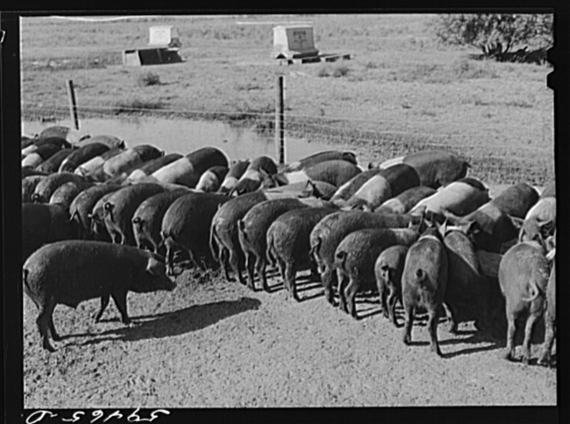 Purebred Hampshires feeding at the Two River Non-Stock Cooperative, a FSA (Farm Security Administration) co-op at Waterloo, Nebraska. There are 181 head of hogs, averaging 160 pounds. There are also 40 sows and 219 suckling pigs