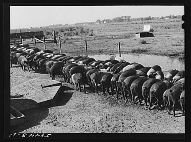 Purebred Hampshires feeding at the Two River Non-Stock Cooperative, a FSA (Farm Security Administration) coop at Waterloo, Nebraska. There are 181 heads of hogs, and their average weight 160 pounds. There are also 40 sows and 219 suckling pigs