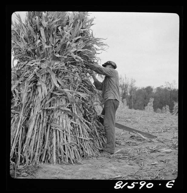 Putting up a shuck of corn on Mambert farm, Coxsackie, New York