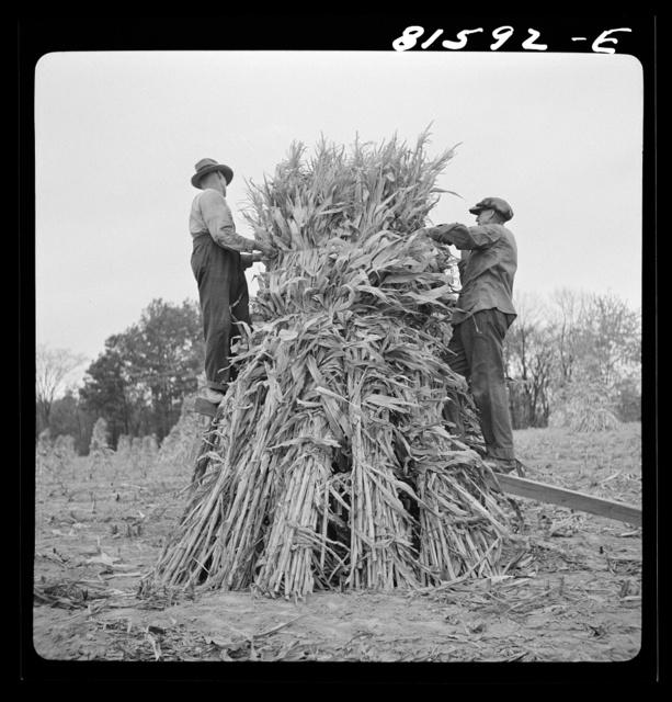 Putting up a shuck of corn on Mambert farm, near Coxsackie, New York