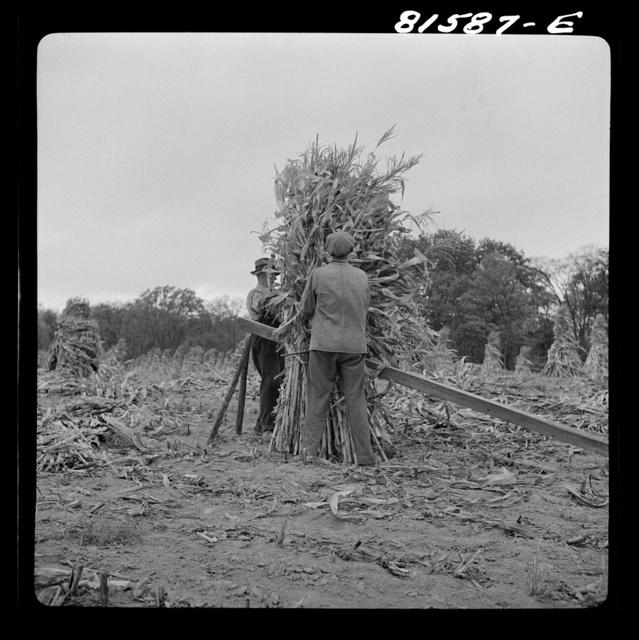 Putting up a shuck of corn on Mambert farm near Coxsackie, New York