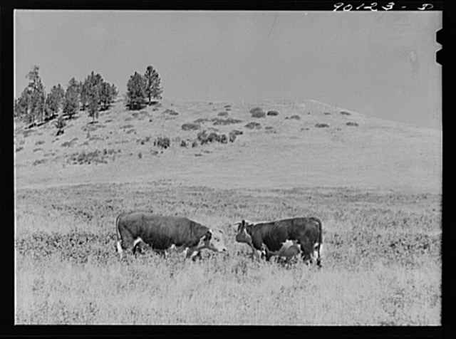 Range bull on grazing land in Indian Creek on Crow Reservation. Wolf Mountains, Montana, near Wyola