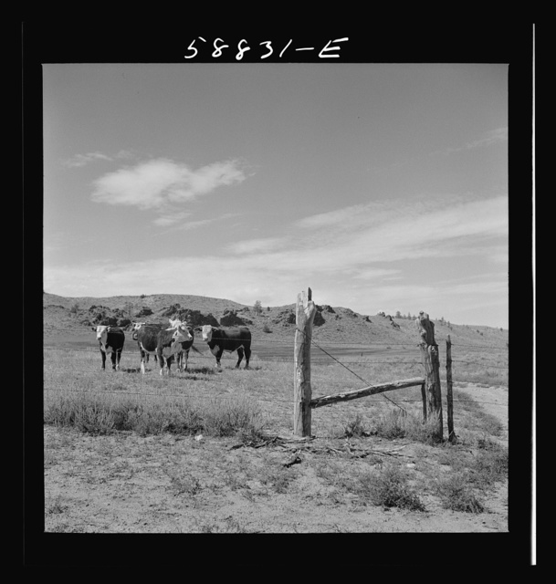 Range cattle behind fence on grazing land near Birney, Montana