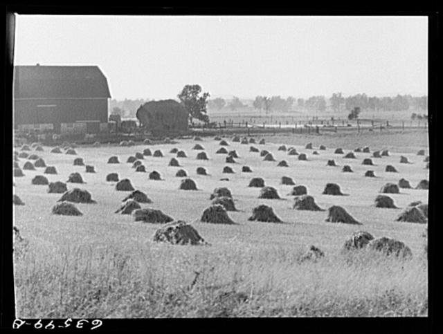 Rye field. Waushara County, Wisconsin