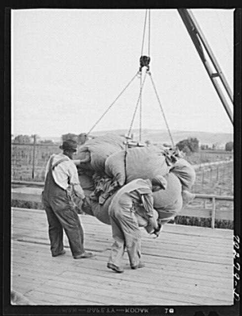 Sacks of green hops are hoisted to kiln platform. Yakima Washington