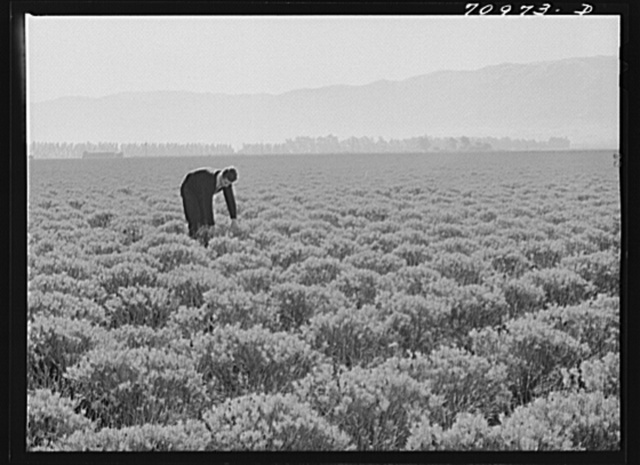 Salinas, California. Intercontinental Rubber Producers. Four-year-old guayule shrubs. Guayule requires from seven to fifteen inches of rainfall annually, ten inches being ideal for successful cultivation