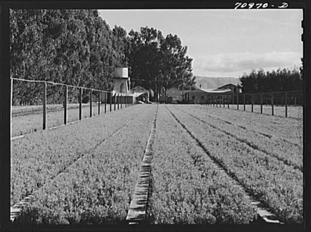 Salinas, California. Intercontinental Rubber Producers. Guayule nursery. Irrigation pipes are in elevated positions throughout the nursery. While irrigation is required in the nursery, none is needed in the fields