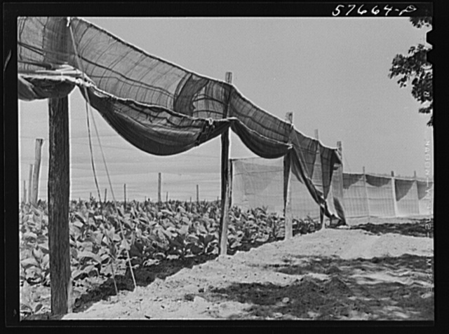 "Shade tobacco covered by ""fields"" of cheesecloth to protect it from the sun and some insects. Near Hartford, Connecticut"