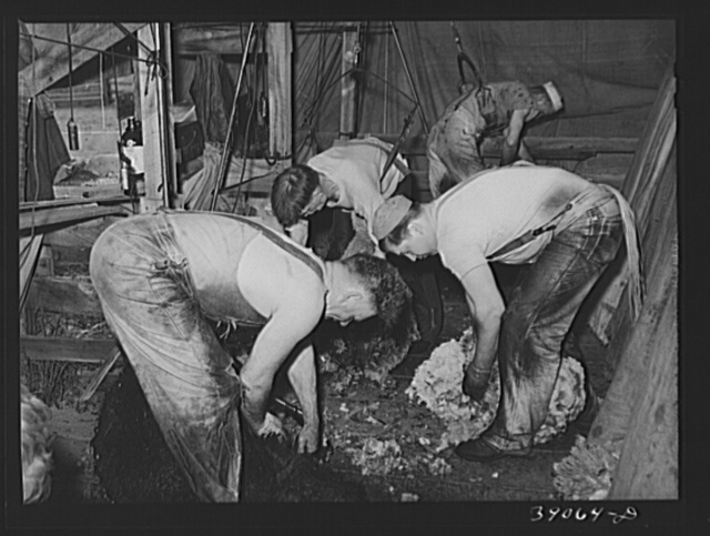 Shearing sheep on ranch. In 1937, Oregon produced more that 17,000,000 pounds of wool, the average weight per fleece being about eight and a quarter pounds
