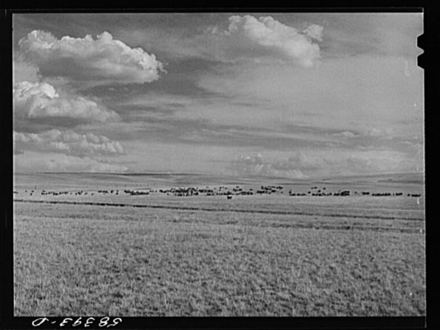 Sheep grazing, northwest of Great Falls, Montana