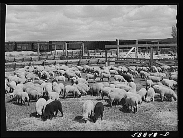 Sheep raised by Edmund Crawford in pens before loading and shipping in freight cars. Craig, Colorado