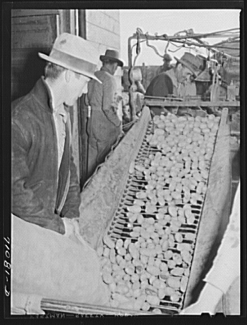 Small potatoes, dirt, sticks, etc., drop through the bars to ground below as potatoes are cleaned, graded and sacked at the cellar. Klamath County, Oregon