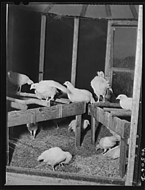 Some of the chickens on farm operated by a woman near Haymarket, Virginia