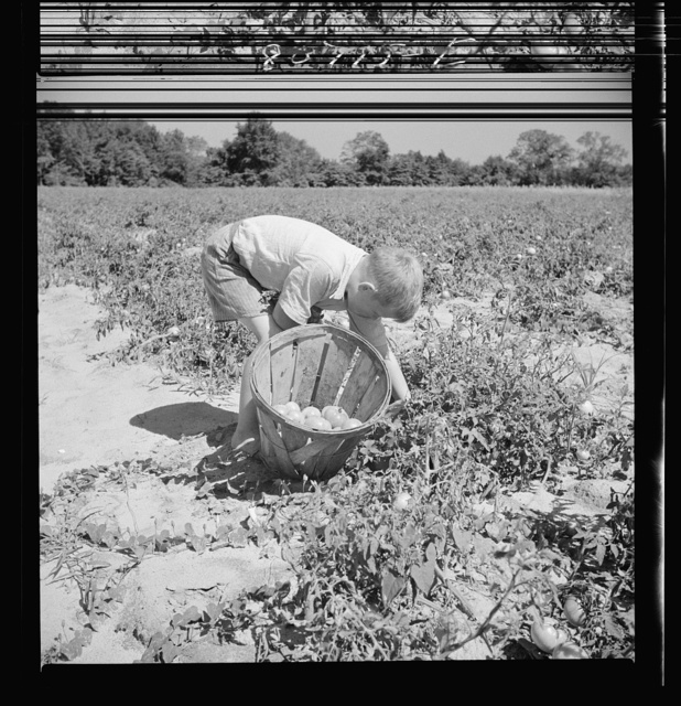Son of Dorchester County farmer helping harvest the tomato crop. Maryland