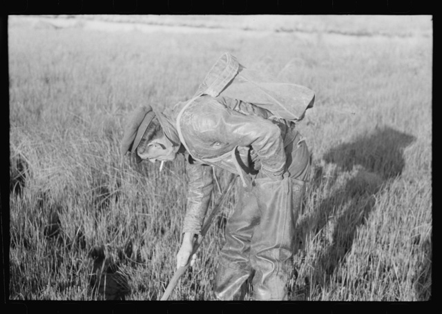 """Spanish trapper checking up on the trap which he set in the muskrat """"run."""" In the marshland near Delacroix Island, Louisiana"""
