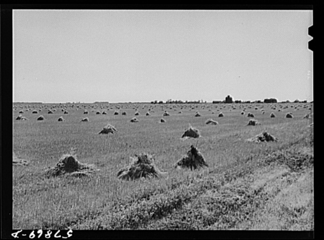 Stacks of wheat in field with town and grain elevators on distant horizon. Red River Valley. North Dakota