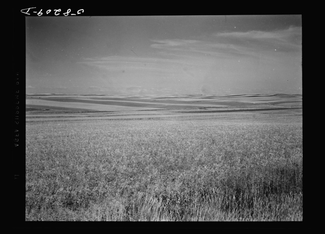 Strip cropping. Fields of wheat and barley, about seven miles north of Culbertson on road to Froid, Montana