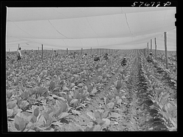 """Suckering shade tobacco covered by """"fields"""" of cheesecloth to protect it from the sun. Near Hartford, Connecticut"""