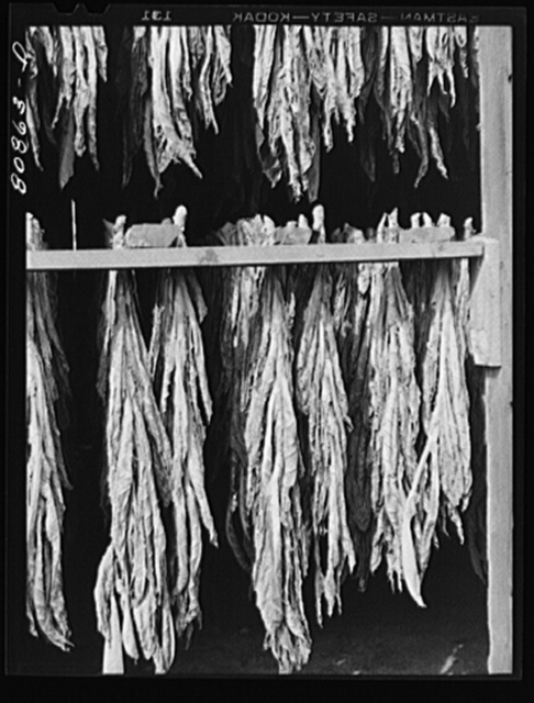 Tobacco drying near Greenfield, Connecticut