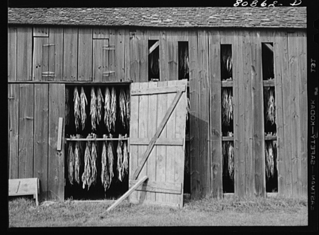 Tobacco sheds near Greenfield, Connecticut