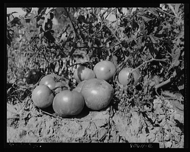 Tomatoes ripe for picking, Dorchester County, Maryland