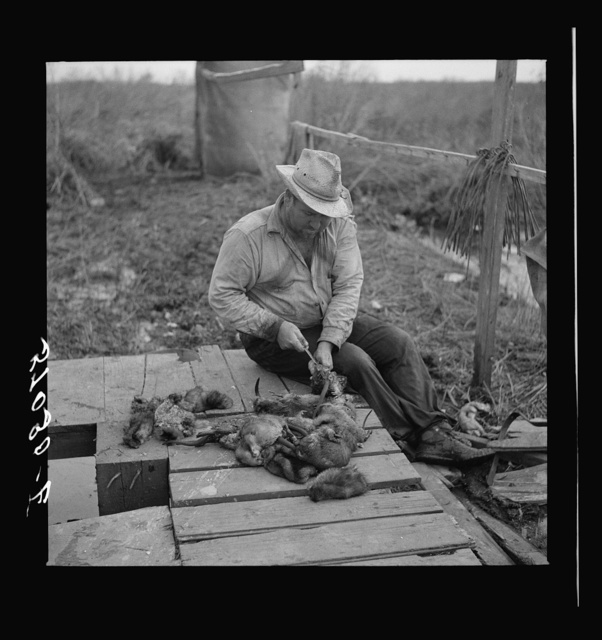 Trapper skinning muskrats in his camp on the bayou in the marshes near Delacroix Island, Louisiana