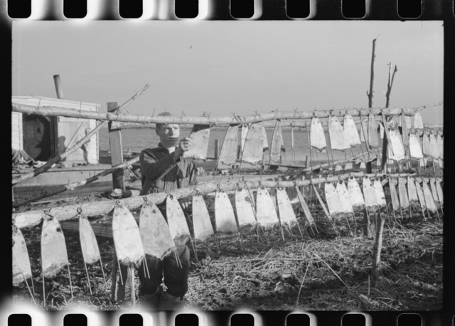 Trapper's son hanging stretched muskrat skins up to dry in front of his camp in the marshes. Near Delacroix Island, Louisiana
