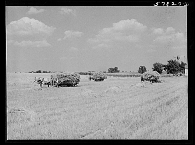 Wagons hauling wheat which has been harvested with a binder, to the barnyard for threshing on a farm near Madison, Wisconsin