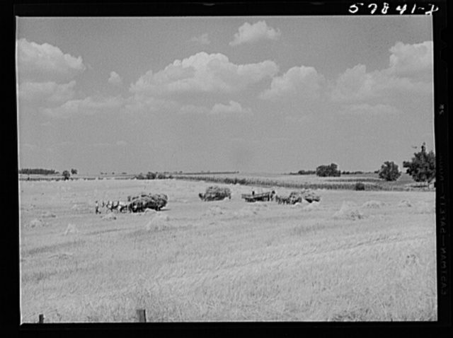 Wagons hauling wheat which has been harvested with a binder to the barnyard for threshing on a farm near Madison, Wisconsin