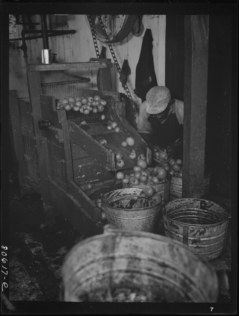 Washing tomatoes prior to canning in the Lennard Cannery. Cambridge, Maryland