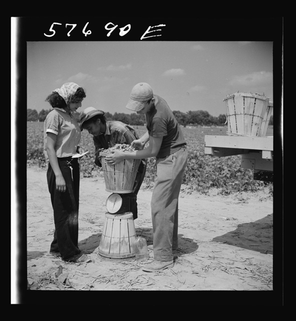 Weighing baskets of beans picked by day laborers from nearby towns. Seabrook Farms, Bridgeton, New Jersey