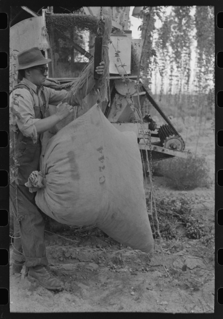 Weighing sack of green hops picked by portable-type mechanical hop picker, Yakima Chief Hop Ranch, Yakima County, Washington