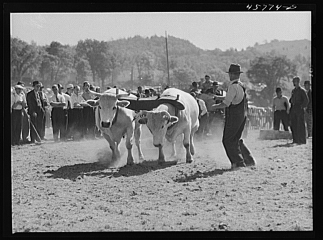 Weight-pulling contest for oxen at the World's Fair at Tunbridge, Vermont