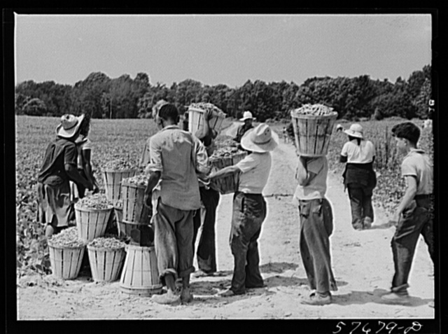 Weighting baskets of beans picked by day laborers from nearby towns. Seabrook Farms, Bridgeton, New Jersey