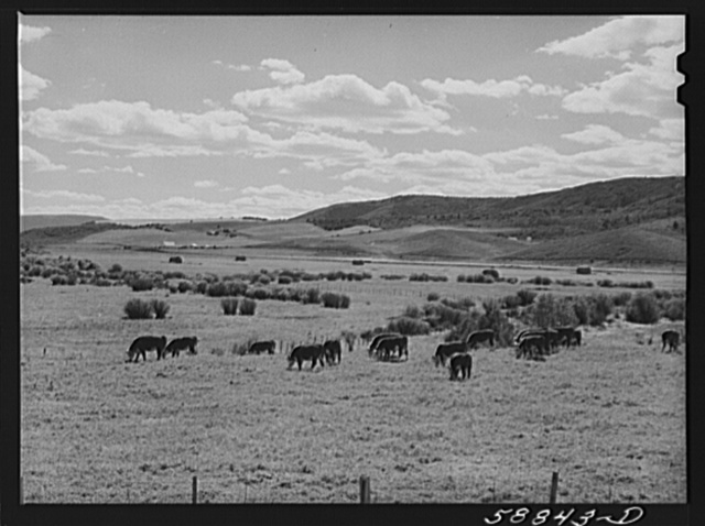 Yampa River Valley, Colorado. Fattening Hereford beef cattle