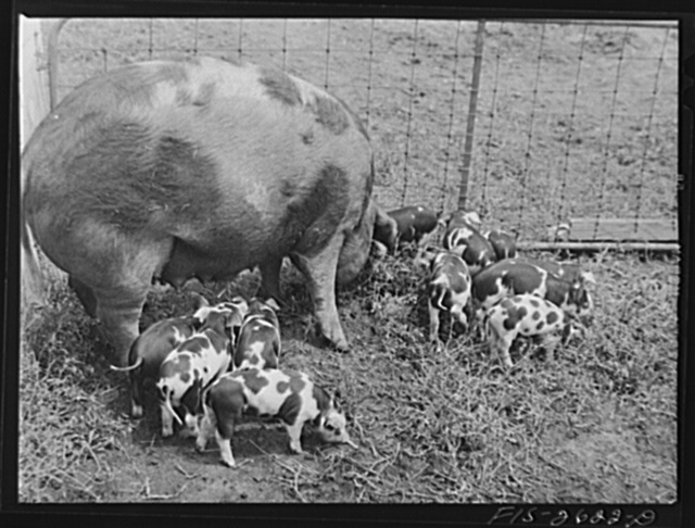 A brood of Spotted Poland China pigs at one of the animal husbandry farms at Iowa State College. Ames, Iowa