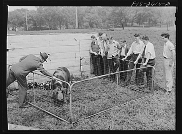 A class in animal husbandry discussing a brood of Spotted Poland China pigs, at one of the animal husbandry farms at Iowa State College. Ames, Iowa