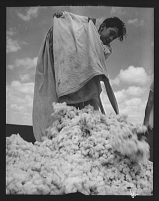 Agricultural. Mexican cotton pickers. A young Mexican acts as a Good Neighbor and gives a hand to cotton farmers near Corpus Christi, Texas, where manpower shortage threatened the cotton crop. This young man is dumping the cotton into a truck, which will carry it to a ginning mill