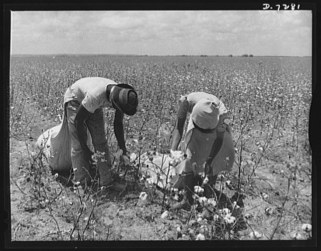 Agricultural. Mexican cotton pickers. Because of the nation's manpower shortage, which threatened the United States' summer cotton crops, Mexican workers were recently asked to assist farmers near Corpus Christi, Texas, during the cotton harvest season