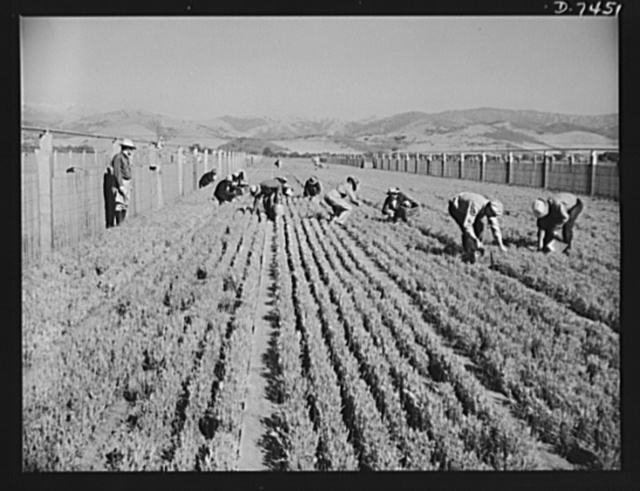 """Agriculture. Guayule cultivation. Weeding guayule nursery beds. A special small power cultivator cleans the space between the rows, but the rows themselves must be weeded by hand. Guayule plantings will produce an estimated 600 tons of rubber in 1943, provided a crop in 1944 which should yield 33,000 tons and a harvest in 1945 to yield 47,000 tons. An annual production of 70,000 tons to 80,000 tons will materialize if full capacity of nurseries now being built is utilized Addition: This program is part of the Department of Agriculture's Emergency Rubber Project, administered by the Forest Service under congressional authorization """"to make available a source of crude rubber for emergency and defense uses"""""""