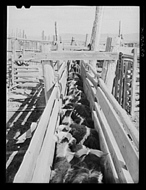 Beaverhead County, Montana. Cattle in dehorning chute. Jenson's ranch, Big Hole Basin