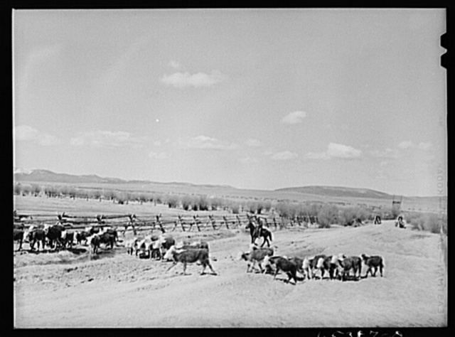 Beaverhead County, Montana. Driving cattle to a new feedlot. Spokane Ranch, Big Hole Basin