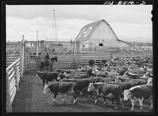 Big Hole Valley, Beaverhead County, Montana. Cattle in corrals at the fall roundup