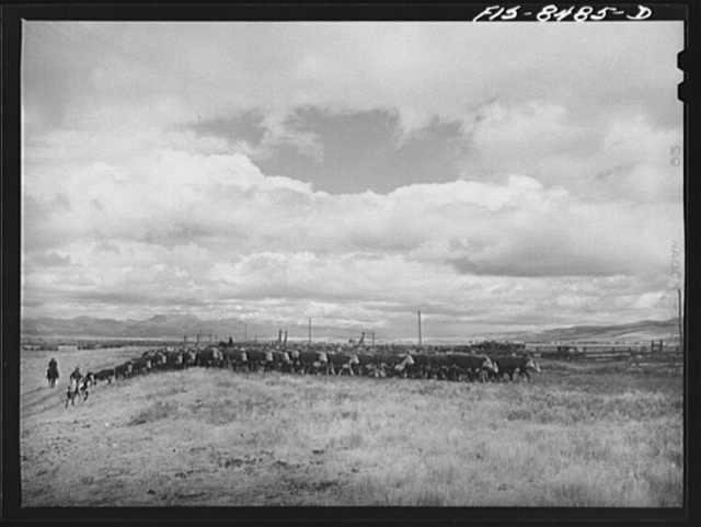 Big Hole Valley, Beaverhead County, Montana. Fall roundup of cattle. The cattle will be weighed at ranch and then trailed to nearest railroad point for shipment to market. Big Hole beef, because of superior grass in the valley, requires little additional grain feeding for finishing