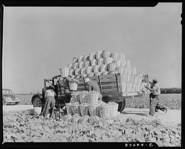 Bridgeton, New Jersey. Seabrook Farm. Loading a truck with beans